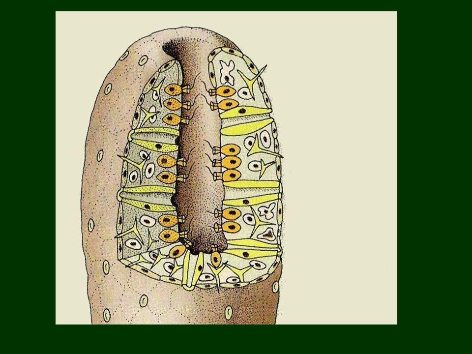 Ízeltlábúak törzse Általános jellemzés: -Szelvények testtájakba tömörülnek: fej tor potroh -Külső váz : kitin hozzá tapadó elkülönült harántcsíkolt izmokkal -Ízelt lábak -Légzőszerv ( légcsőrendszer v.