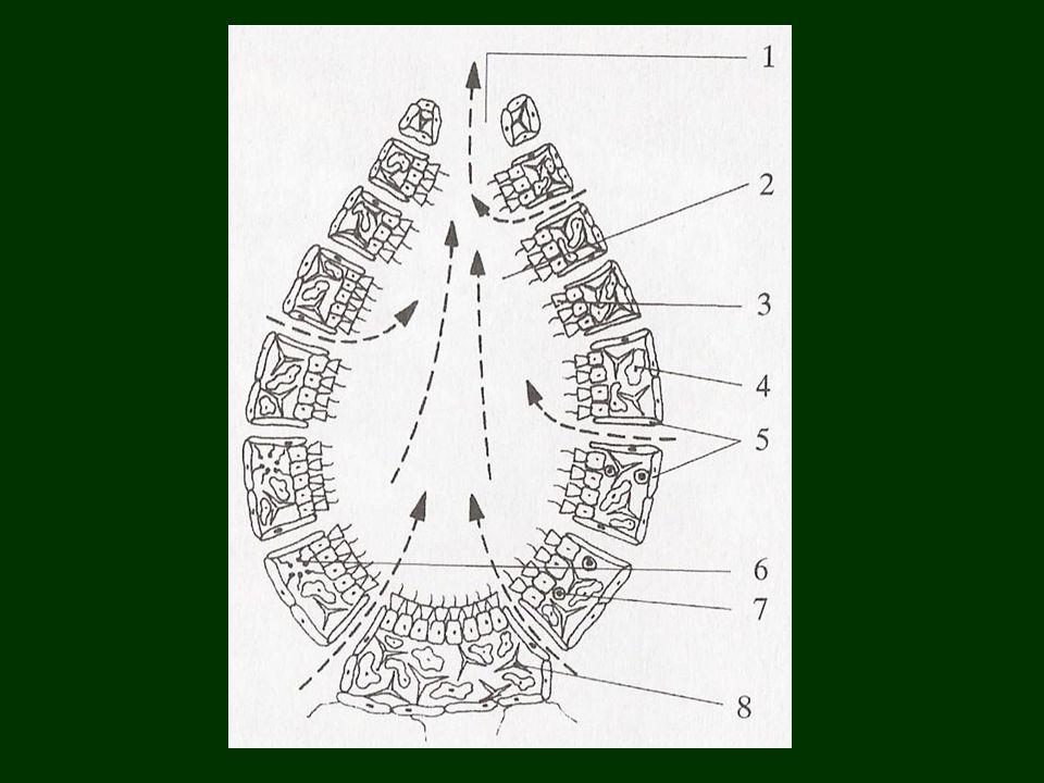 Tanult fajok: májusi cserebogár háziméh gyapjaslepke szarvasbogár betűzőszú erdei vöröshangya gyötrőszúnyog széleslábú szitakötő olasz sáska zöld lombszöcske mezei tücsök
