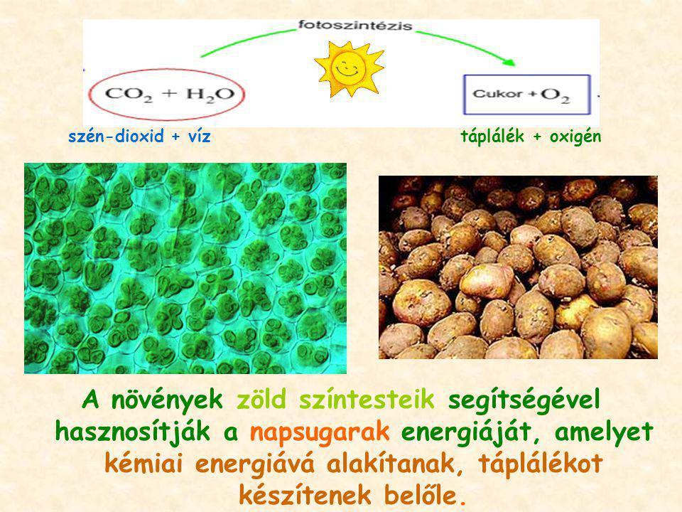 A növények zöld színtesteik segítségével hasznosítják a napsugarak energiáját, amelyet kémiai energiává alakítanak, táplálékot készítenek belőle. szén