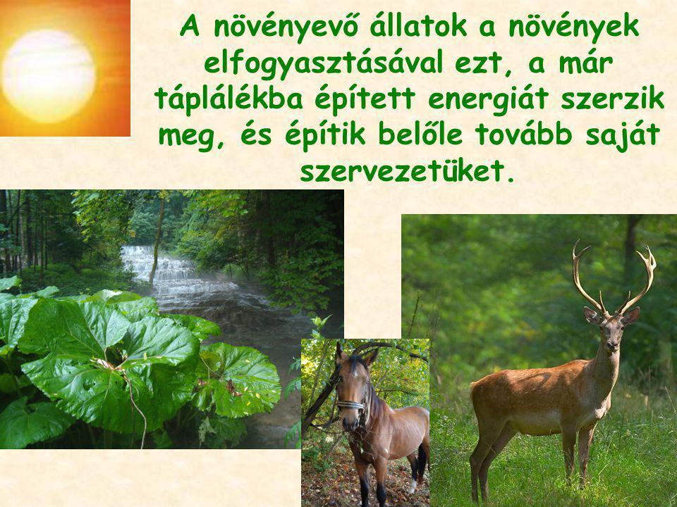 A növényevő állatok a növények elfogyasztásával ezt, a már táplálékba épített energiát szerzik meg, és építik belőle tovább saját szervezetüket.