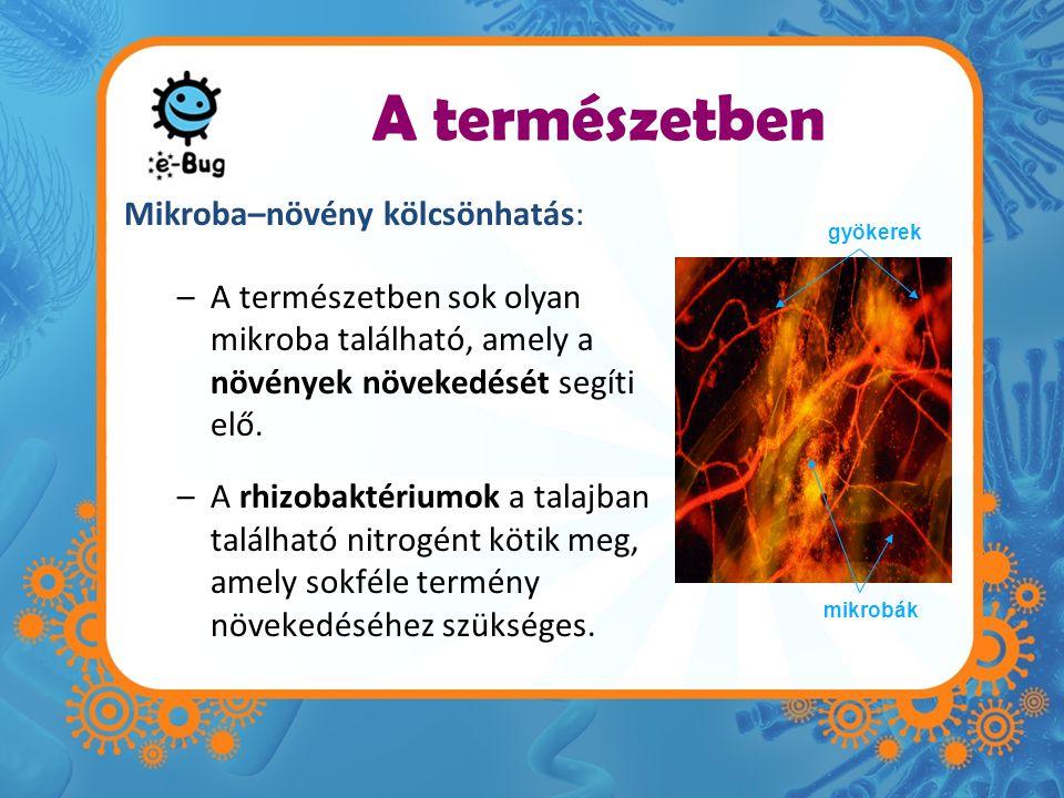 A természetben Mikroba–növény kölcsönhatás: –A természetben sok olyan mikroba található, amely a növények növekedését segíti elő.