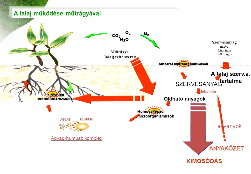 lebomlás SZERVESANYAG ANYAKŐZET A GYÖKÉR MIKROORGANIZMUSAI Autotróf mikroorganizmusok CO 2 H2OH2O O2O2 N2N2 Oldható anyagok K + NH 4 + Mg 2+ NH 4 + H+