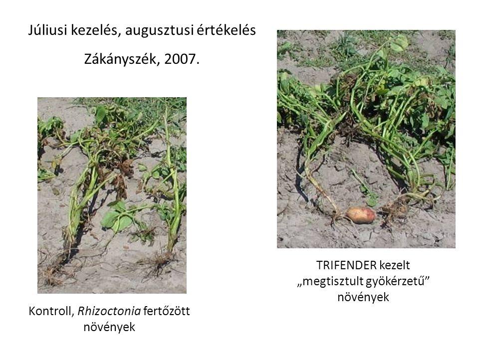 """Kontroll, Rhizoctonia fertőzött növények TRIFENDER kezelt """"megtisztult gyökérzetű"""" növények Júliusi kezelés, augusztusi értékelés Zákányszék, 2007."""