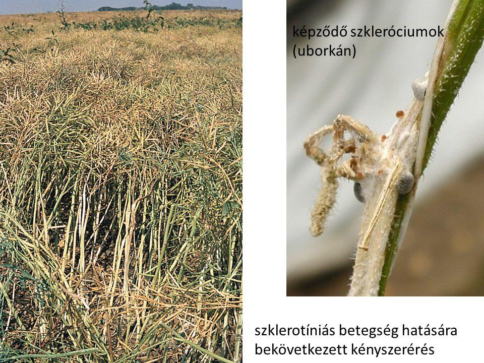 szklerotíniás betegség hatására bekövetkezett kényszerérés képződő szkleróciumok (uborkán)