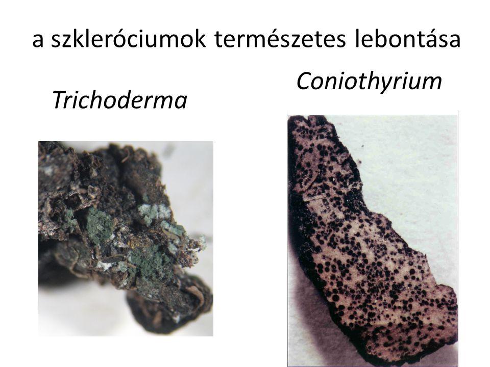 Trichoderma Coniothyrium a szkleróciumok természetes lebontása
