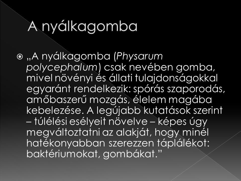 """ """"A nyálkagomba (Physarum polycephalum) csak nevében gomba, mivel növényi és állati tulajdonságokkal egyaránt rendelkezik: spórás szaporodás, amőbaszerű mozgás, élelem magába kebelezése."""
