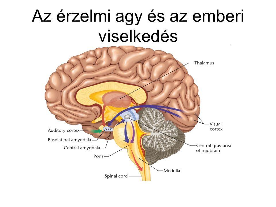 Az érzelmi agy és az emberi viselkedés
