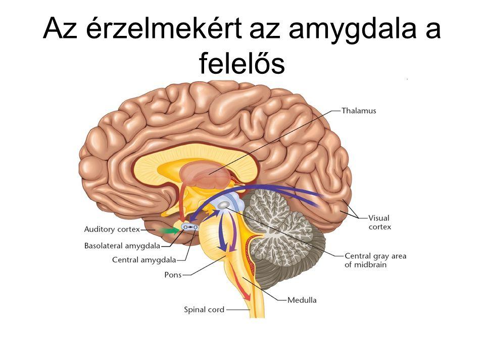 Az érzelmekért az amygdala a felelős