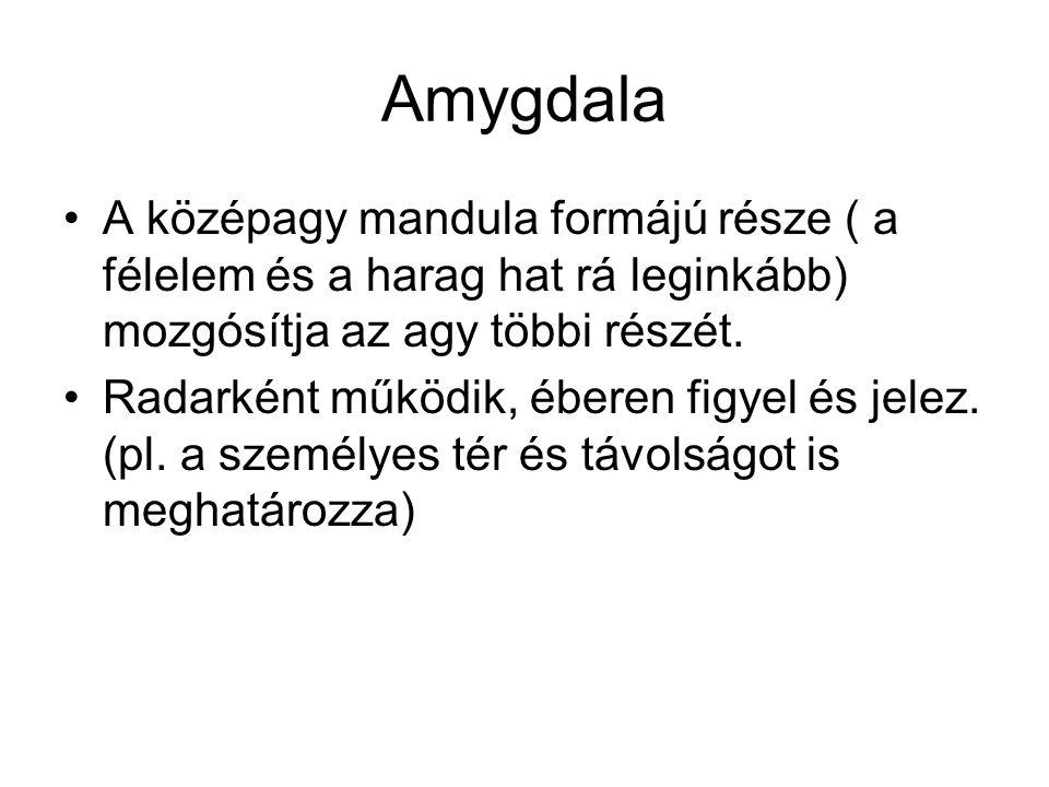 Amygdala •A középagy mandula formájú része ( a félelem és a harag hat rá leginkább) mozgósítja az agy többi részét. •Radarként működik, éberen figyel