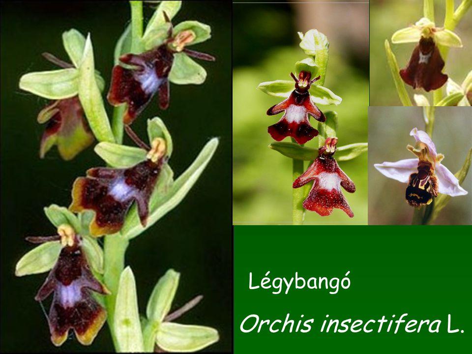 Orchis insectifera L. Légybangó
