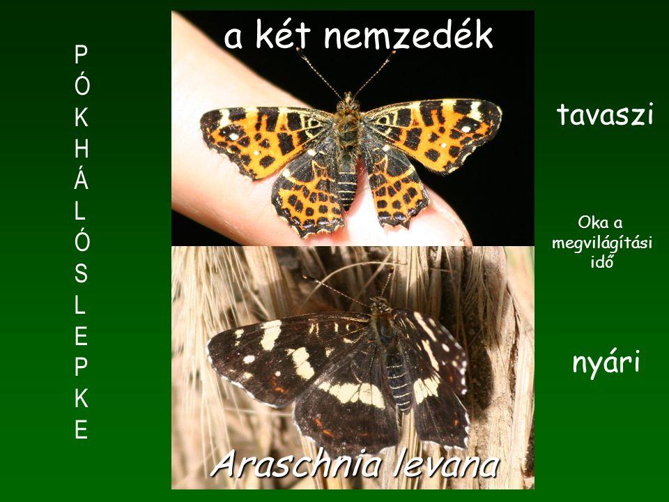 PÓKHÁLÓSLEPKEPÓKHÁLÓSLEPKE tavaszi nyári a két nemzedék Araschnia levana Oka a megvilágítási idő