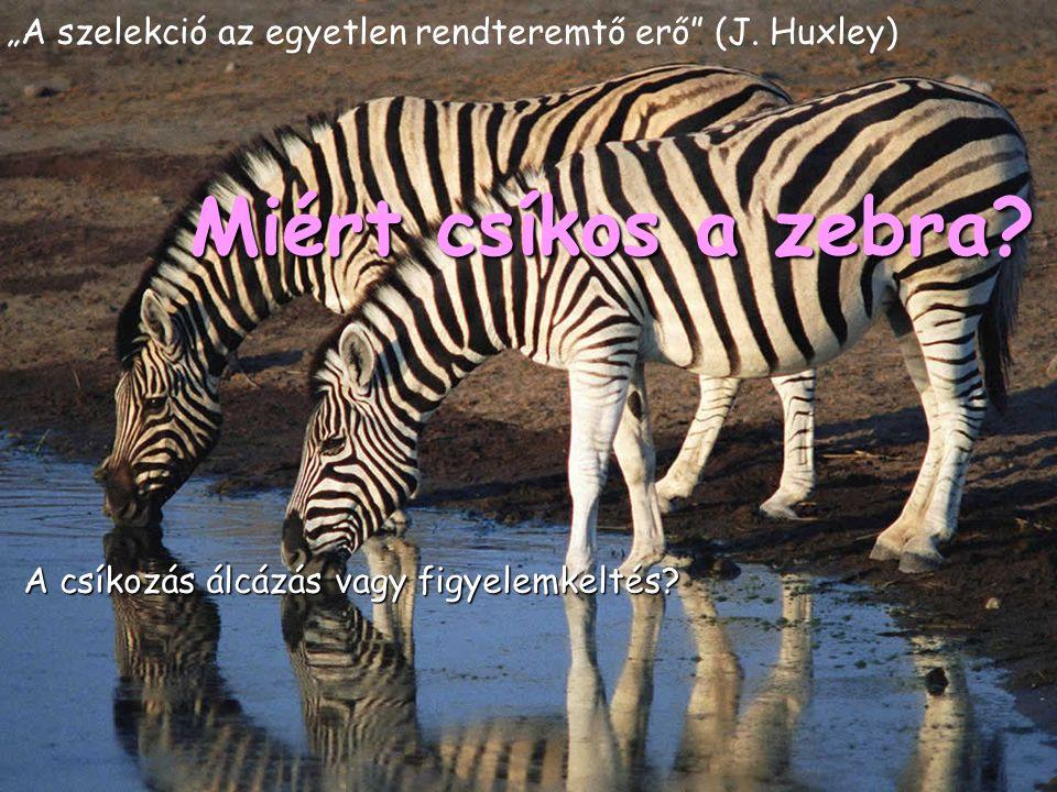 """""""A szelekció az egyetlen rendteremtő erő"""" (J. Huxley) A csíkozás álcázás vagy figyelemkeltés? Miért csíkos a zebra?"""