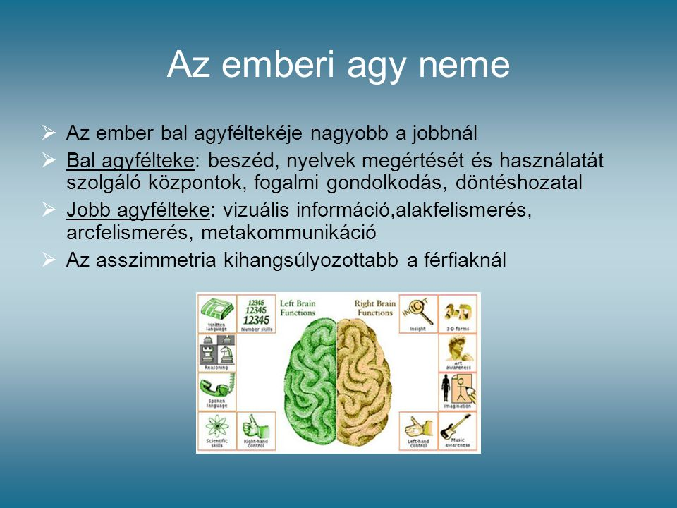 Az emberi agy neme  Az ember bal agyféltekéje nagyobb a jobbnál  Bal agyfélteke: beszéd, nyelvek megértését és használatát szolgáló központok, fogal