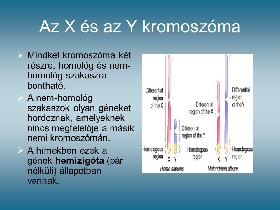 Az X és az Y kromoszóma  Mindkét kromoszóma két részre, homológ és nem- homológ szakaszra bontható.  A nem-homológ szakaszok olyan géneket hordoznak