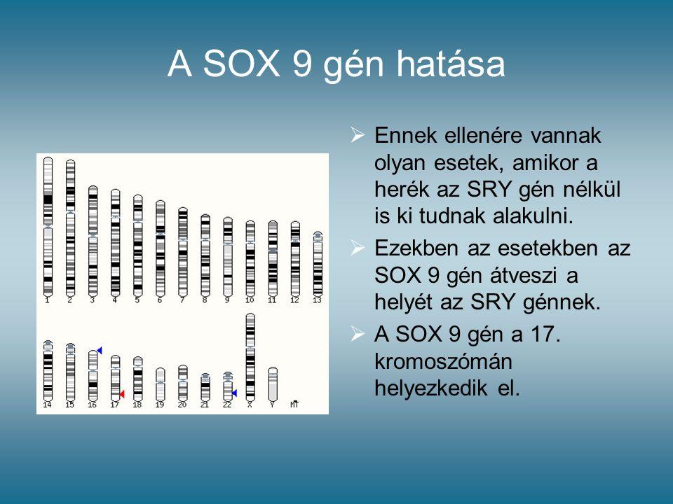 A SOX 9 gén hatása  Ennek ellenére vannak olyan esetek, amikor a herék az SRY gén nélkül is ki tudnak alakulni.  Ezekben az esetekben az SOX 9 gén á