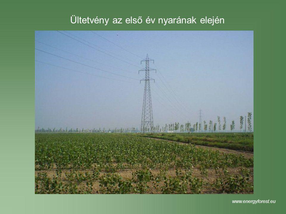 Ültetvény az első év nyarának elején www.energyforest.eu
