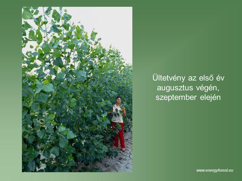 Ültetvény az első év augusztus végén, szeptember elején www.energyforest.eu