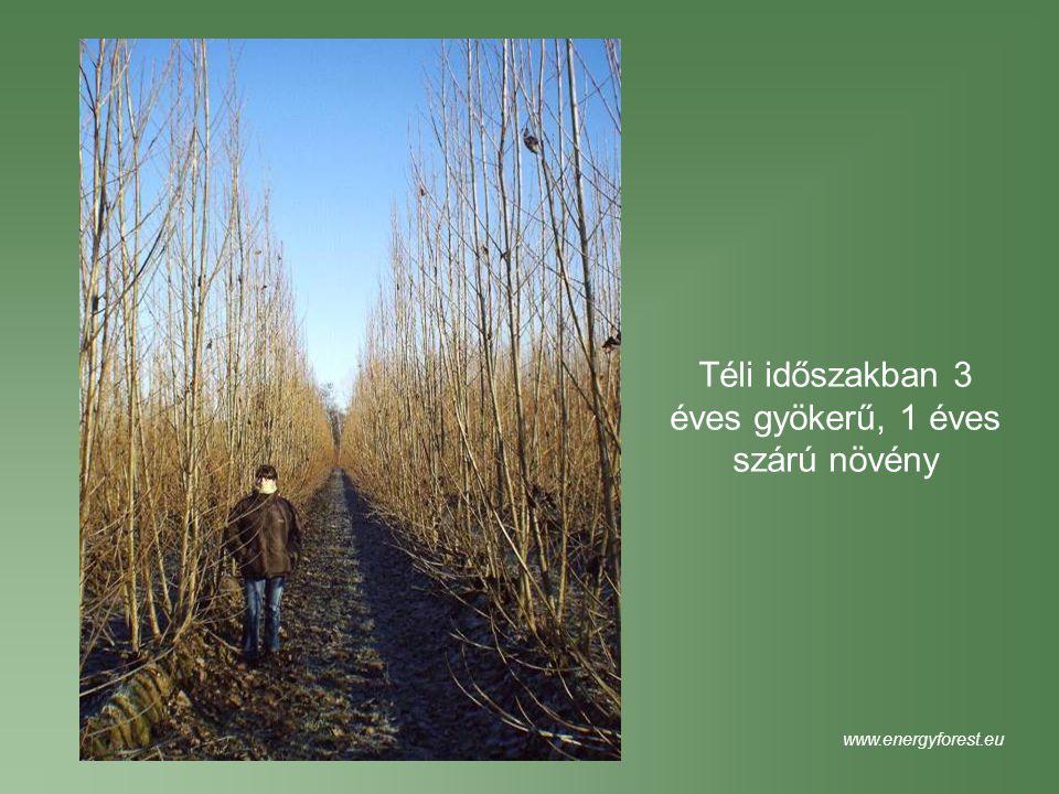Téli időszakban 3 éves gyökerű, 1 éves szárú növény www.energyforest.eu