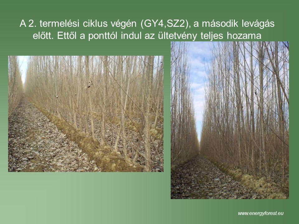 A 2. termelési ciklus végén (GY4,SZ2), a második levágás előtt. Ettől a ponttól indul az ültetvény teljes hozama www.energyforest.eu