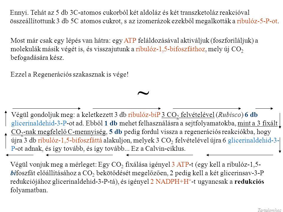 Ennyi. Tehát az 5 db 3C-atomos cukorból két aldoláz és két transzketoláz reakcióval összeállítottunk 3 db 5C atomos cukrot, s az izomerázok ezekből me