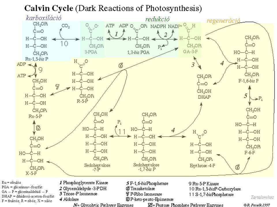 karboxiláció redukció regeneráció Ru = ribulóz PGA = glicerinsav-foszfát GA -- P = glicerinaldehid -- P DHAP = dihidroxi-aceton-foszfát F = fruktóz, R