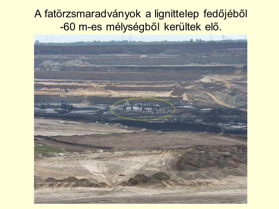 A fatörzsmaradványok a lignittelep fedőjéből -60 m-es mélységből kerültek elő.