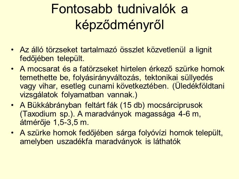 Fontosabb tudnivalók a képződményről •Az álló törzseket tartalmazó összlet közvetlenül a lignit fedőjében települt. •A mocsarat és a fatörzseket hirte
