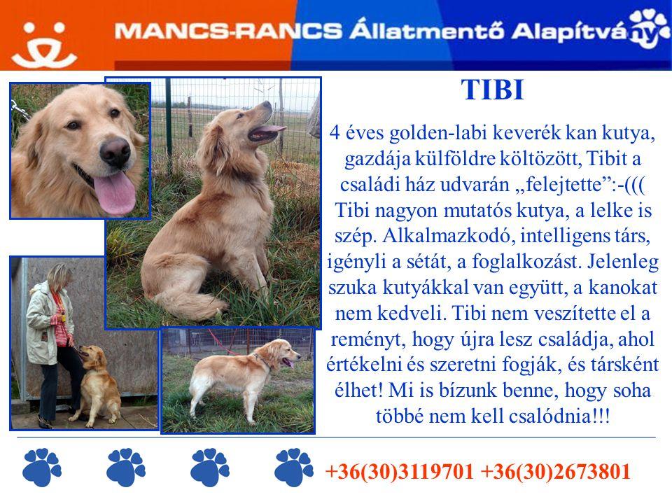 """TIBI 4 éves golden-labi keverék kan kutya, gazdája külföldre költözött, Tibit a családi ház udvarán """"felejtette :-((( Tibi nagyon mutatós kutya, a lelke is szép."""