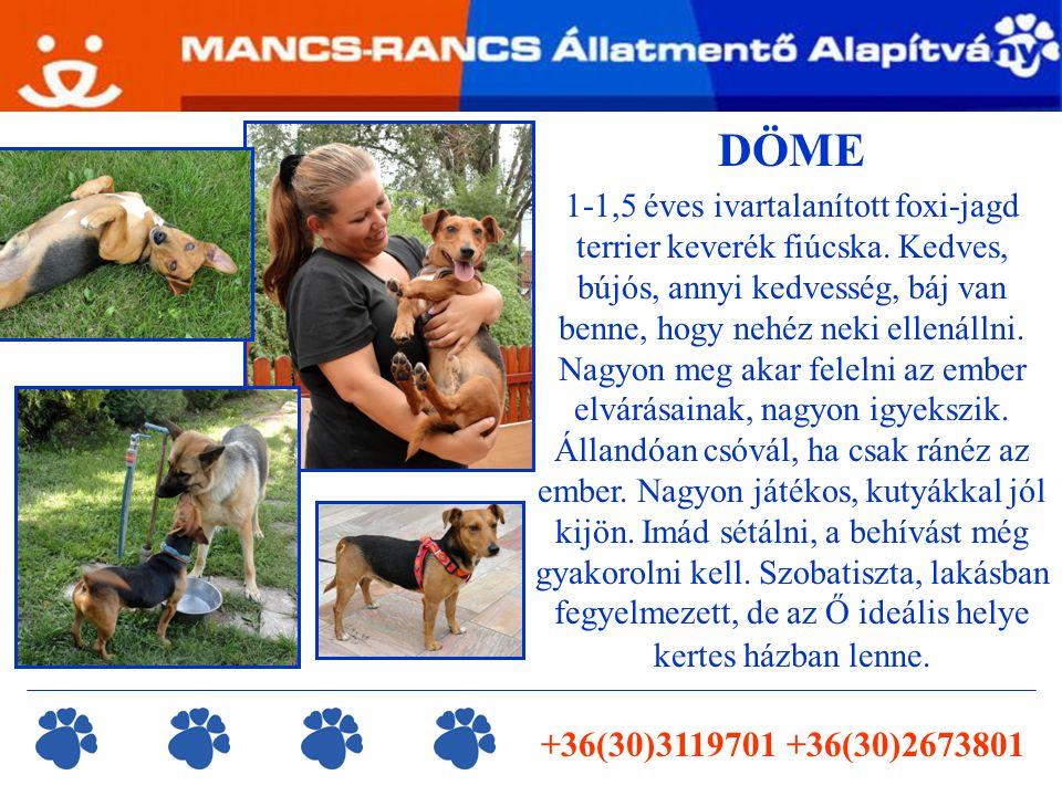 +36(30)3119701 +36(30)2673801 DÖME 1-1,5 éves ivartalanított foxi-jagd terrier keverék fiúcska.