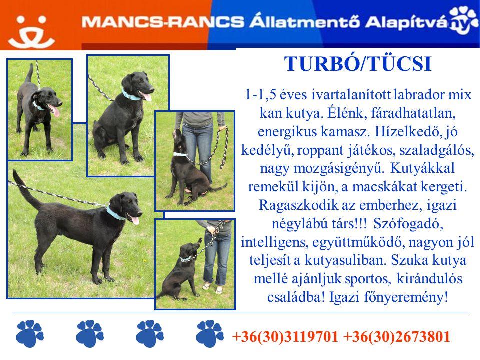 TURBÓ/TÜCSI 1-1,5 éves ivartalanított labrador mix kan kutya.
