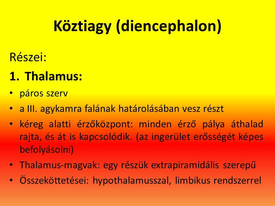 Köztiagy (diencephalon) Részei: 1.Thalamus: • páros szerv • a III. agykamra falának határolásában vesz részt • kéreg alatti érzőközpont: minden érző p