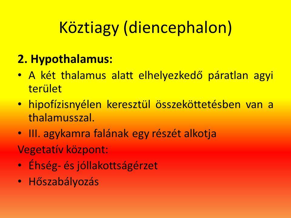 Köztiagy (diencephalon) 2. Hypothalamus: • A két thalamus alatt elhelyezkedő páratlan agyi terület • hipofízisnyélen keresztül összeköttetésben van a