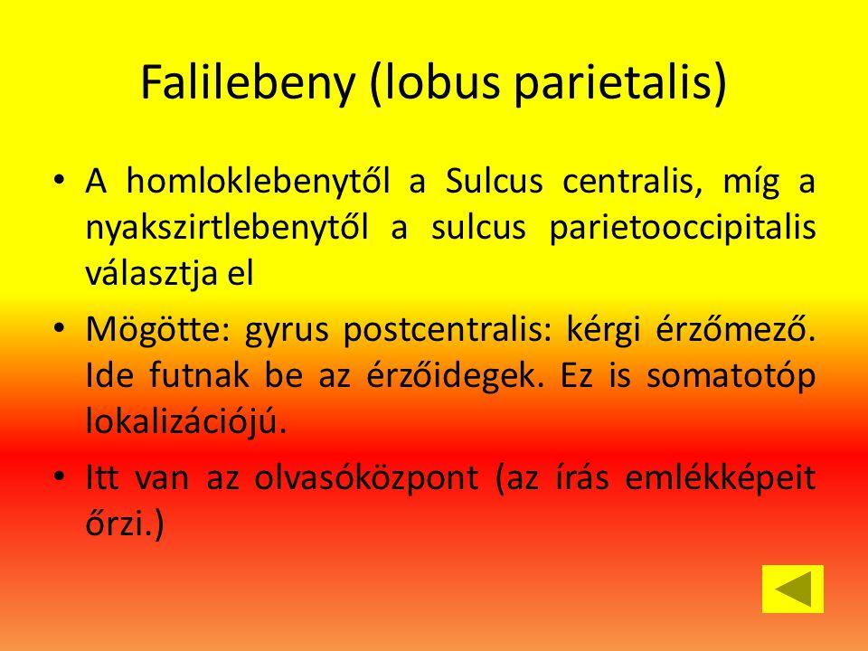 Falilebeny (lobus parietalis) • A homloklebenytől a Sulcus centralis, míg a nyakszirtlebenytől a sulcus parietooccipitalis választja el • Mögötte: gyrus postcentralis: kérgi érzőmező.