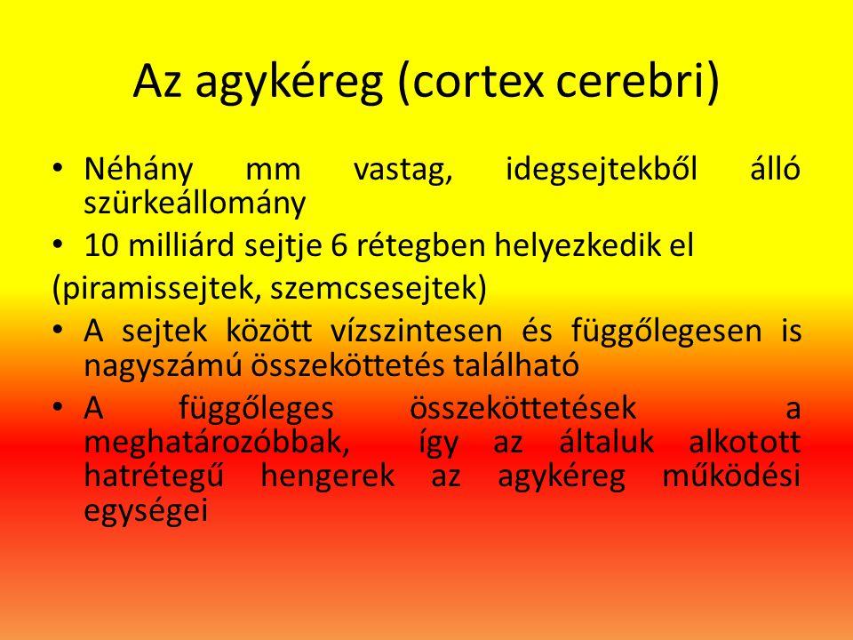 Az agykéreg (cortex cerebri) • Néhány mm vastag, idegsejtekből álló szürkeállomány • 10 milliárd sejtje 6 rétegben helyezkedik el (piramissejtek, szem