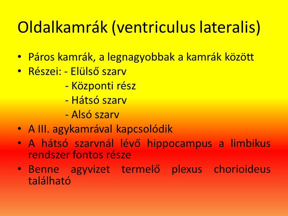 Oldalkamrák (ventriculus lateralis) • Páros kamrák, a legnagyobbak a kamrák között • Részei: - Elülső szarv - Központi rész - Hátsó szarv - Alsó szarv