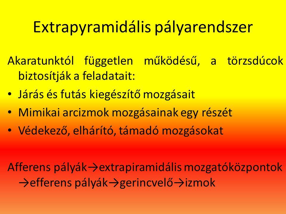 Extrapyramidális pályarendszer Akaratunktól független működésű, a törzsdúcok biztosítják a feladatait: • Járás és futás kiegészítő mozgásait • Mimikai