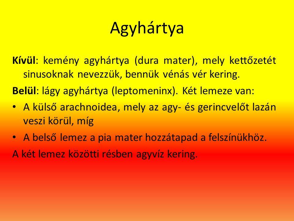 Agyhártya Kívül: kemény agyhártya (dura mater), mely kettőzetét sinusoknak nevezzük, bennük vénás vér kering. Belül: lágy agyhártya (leptomeninx). Két
