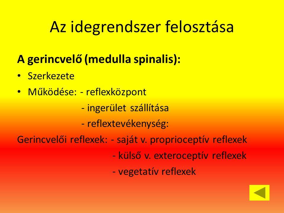 Az idegrendszer felosztása A gerincvelő (medulla spinalis): • Szerkezete • Működése: - reflexközpont - ingerület szállítása - reflextevékenység: Gerincvelői reflexek: - saját v.