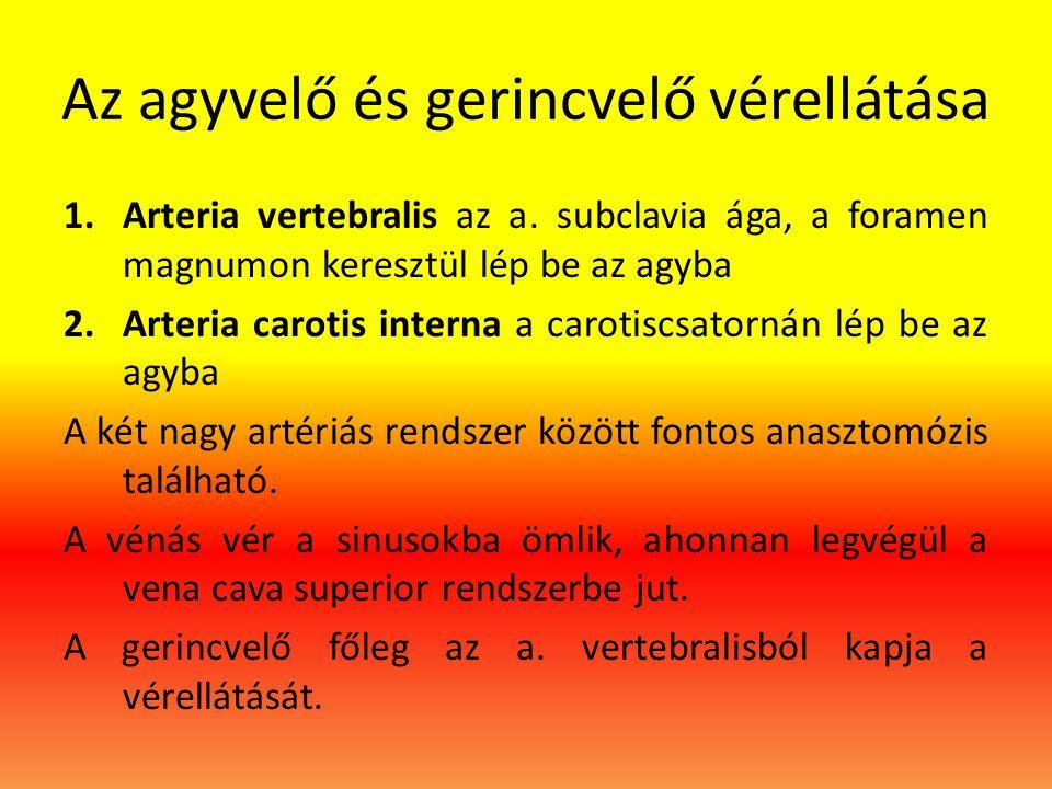 Az agyvelő és gerincvelő vérellátása 1.Arteria vertebralis az a.