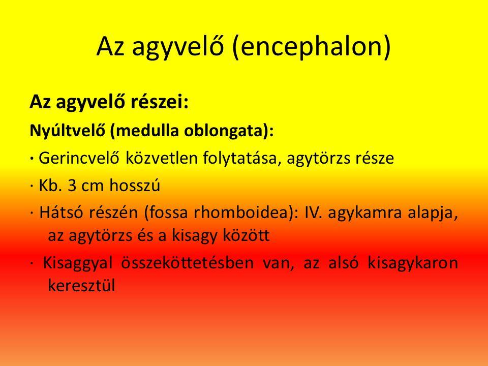 Az agyvelő (encephalon) Az agyvelő részei: Nyúltvelő (medulla oblongata): · Gerincvelő közvetlen folytatása, agytörzs része · Kb. 3 cm hosszú · Hátsó
