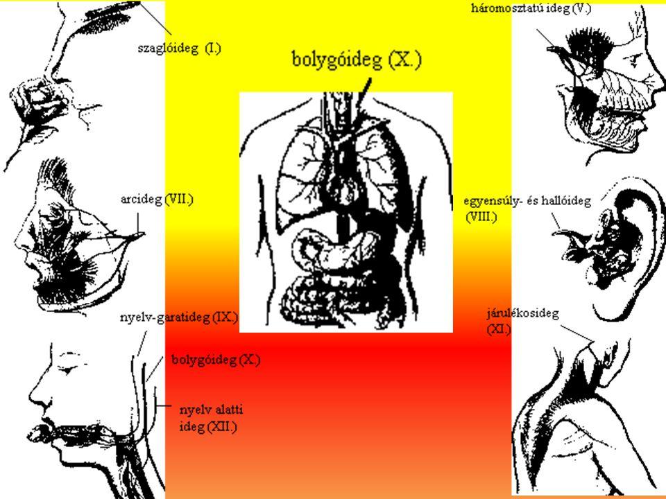 A vegetatív idegrendszer vázlatos felépülése (Teljes vonallal: paraszimpatikus idegrendszer, szaggatott vonallal: szimpatikus idegrendszer )