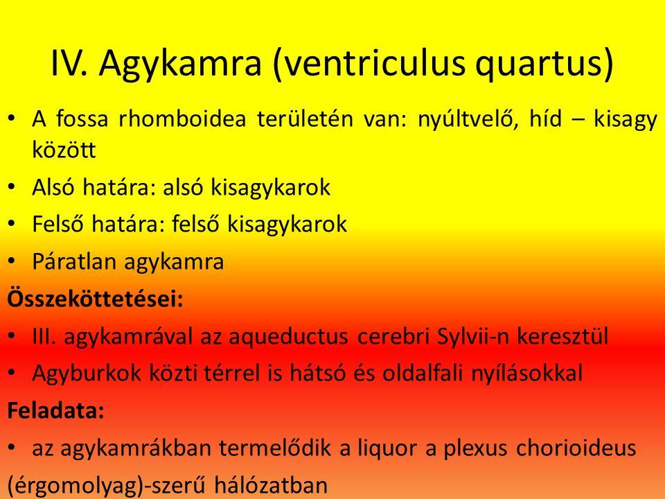 IV. Agykamra (ventriculus quartus) • A fossa rhomboidea területén van: nyúltvelő, híd – kisagy között • Alsó határa: alsó kisagykarok • Felső határa: