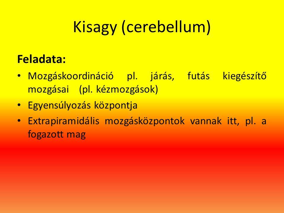 Kisagy (cerebellum) Feladata: • Mozgáskoordináció pl. járás, futás kiegészítő mozgásai (pl. kézmozgások) • Egyensúlyozás központja • Extrapiramidális