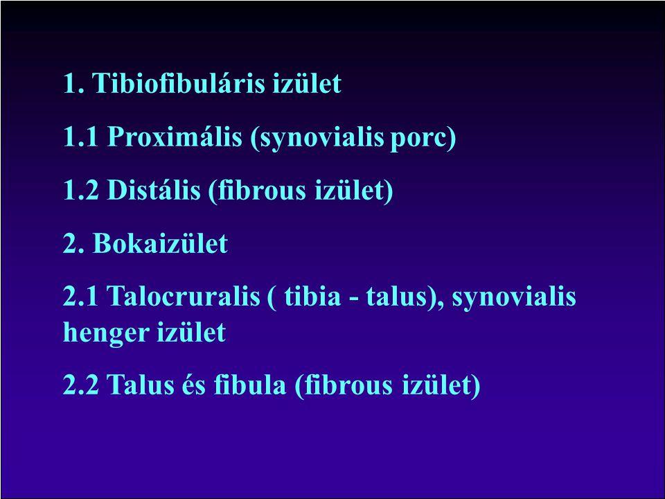 1.Tibiofibuláris izület 1.1 Proximális (synovialis porc) 1.2 Distális (fibrous izület) 2.