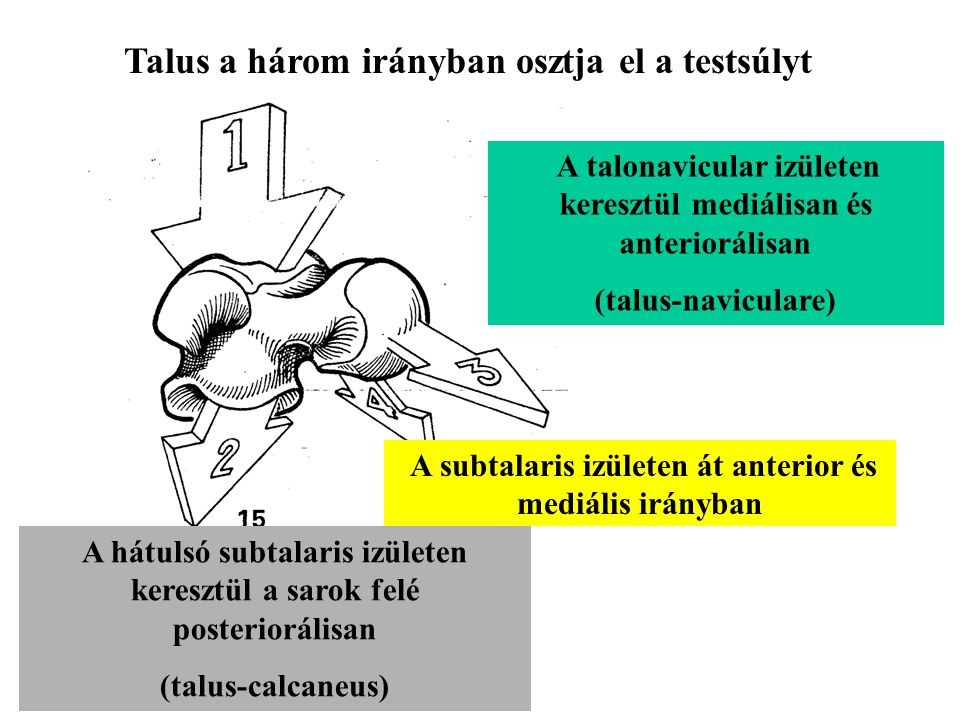 A fibula mozgása Flexion (dorsal flexion)Extension (plantar flexion)