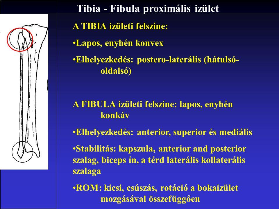 1. Tibiofibuláris izület 1.1 Proximális (synovialis porc) 1.2 Distális (fibrous izület) 2. Bokaizület 2.1 Talocruralis ( tibia - talus), synovialis he