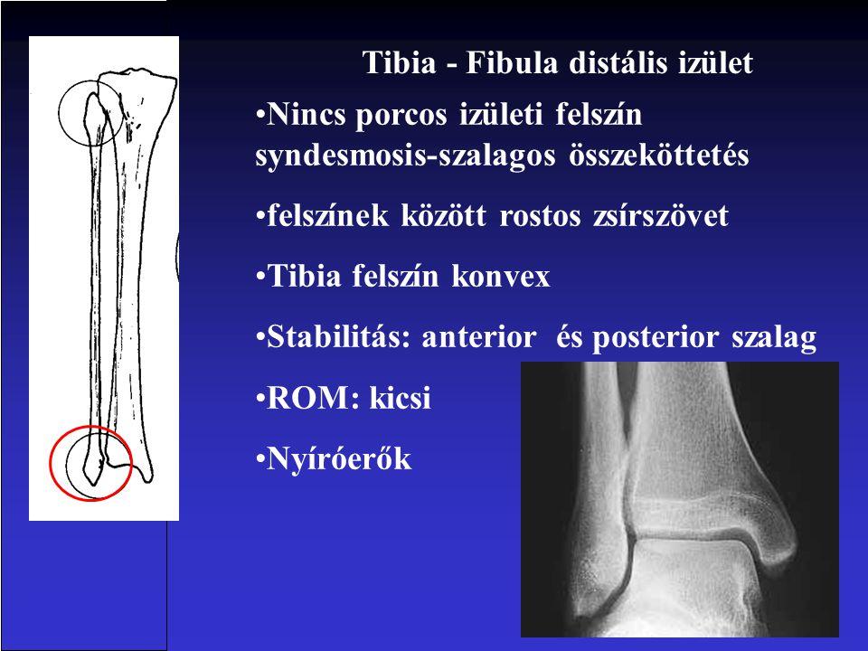 •Nincs porcos izületi felszín syndesmosis-szalagos összeköttetés •felszínek között rostos zsírszövet •Tibia felszín konvex •Stabilitás: anterior és posterior szalag •ROM: kicsi •Nyíróerők Tibia - Fibula distális izület