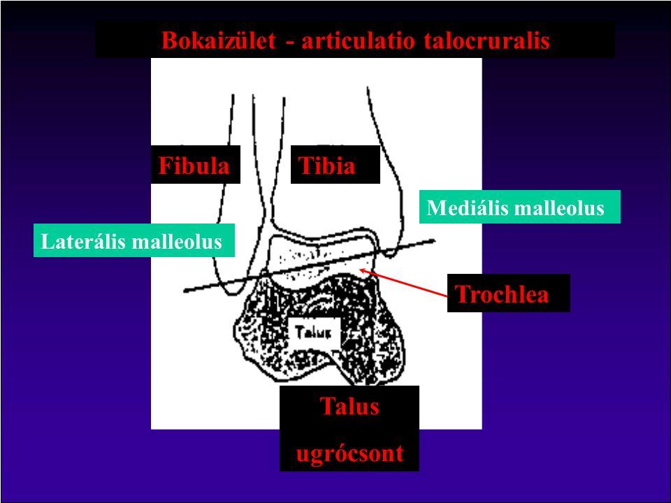Bokaizület - articulatio talocruralis TibiaFibula Talus ugrócsont Trochlea Laterális malleolus Mediális malleolus
