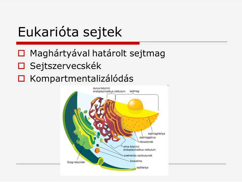 Eukarióta sejtek  Maghártyával határolt sejtmag  Sejtszervecskék  Kompartmentalizálódás