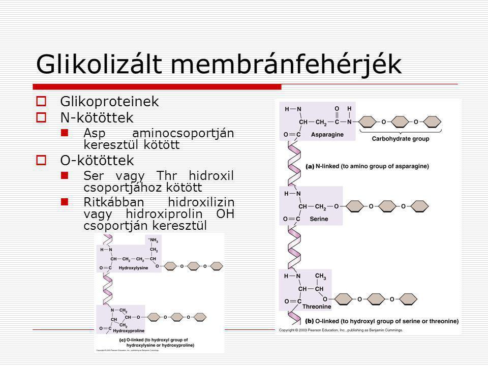 Glikolizált membránfehérjék  Glikoproteinek  N-kötöttek  Asp aminocsoportján keresztül kötött  O-kötöttek  Ser vagy Thr hidroxil csoportjához köt